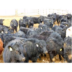 Keintz farms - 885# Steers - 150 Head (Okotoks, AB)