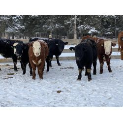 Newsome Farms - 800# Steers - 71 Head (Cremona, AB)