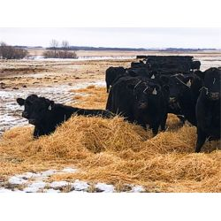 Franklin Cattle Co. - 1350# Pairs - 40 Pairs (Kipling, SK)