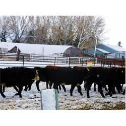 Sturgeon River Ranching - 675# Heifers - 53 Head (Rockyford, AB)