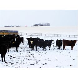 Sturgeon River Ranching - 530# Heifers - 265 Head (Rockyford, AB)