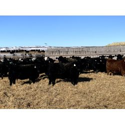 Huxley Colony  - 870# Heifers - 140 Head (Huxley, AB)