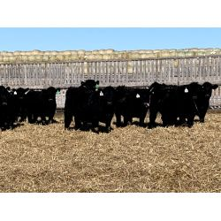 Huxley Colony  - 760# Heifers - 83 Head (Huxley, AB)