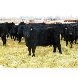 Jane & Bryce Bader - 775# Heifers - 51 Head (Jenner, AB)