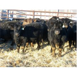 Johnson Livestock - 700# Steers - 88 Head (Peebles, SK)