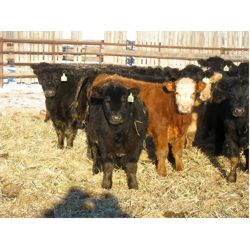 Johnson Livestock - 620# Steers - 98 Head (Peebles, SK)