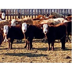 Stankievech Ranches - 760# Steers - 170 Head (Trochu, AB)