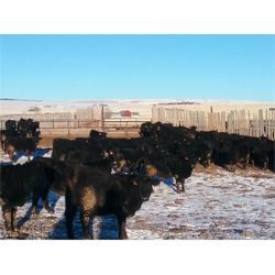Roseburn Ranches Customer - 975# Heifers - 142 Head (High River, AB)