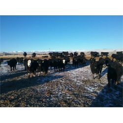Roseburn Ranches Customer - 1075# Steers - 136 Head (High River, AB)