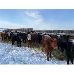 Marcinek Cattle Company - 1000# Heifers - 126 Head (Condor, AB)