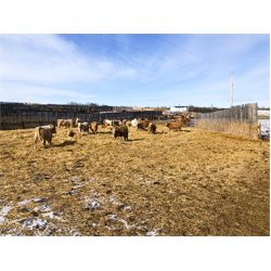 Reilly Lake Ranching - 1000# Steers - 130 Head (Lloydminster, AB)