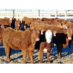 Coroview Farms - 635# Heifers - 90 Head (Scandia, AB)