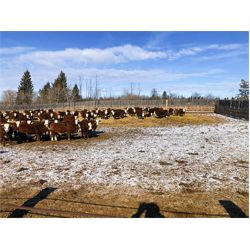 Crooked Creek Ranch - 910# Steers - 70 Head (Lloydminster, SK)