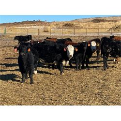 Midpoint Farms - 1050# Steers - 120 Head (Drayton Valley, AB)