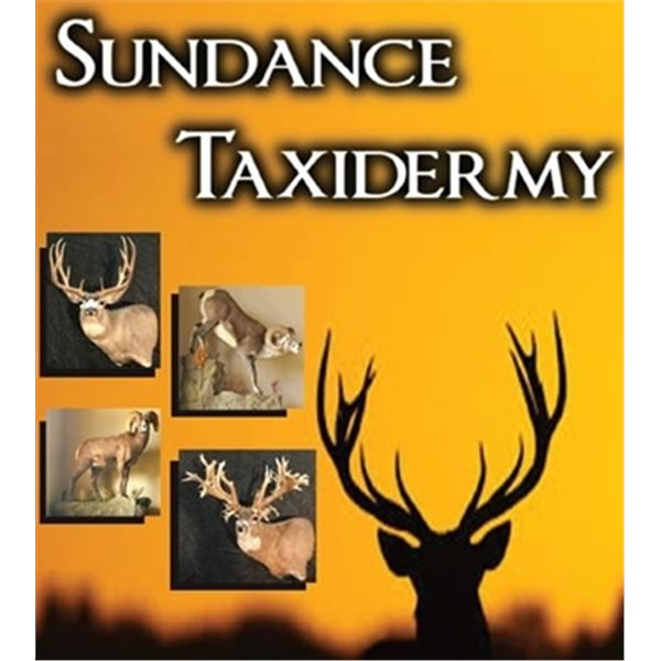 Antelope/deer sized shoulder mount by Sundance Taxidermy Specialists