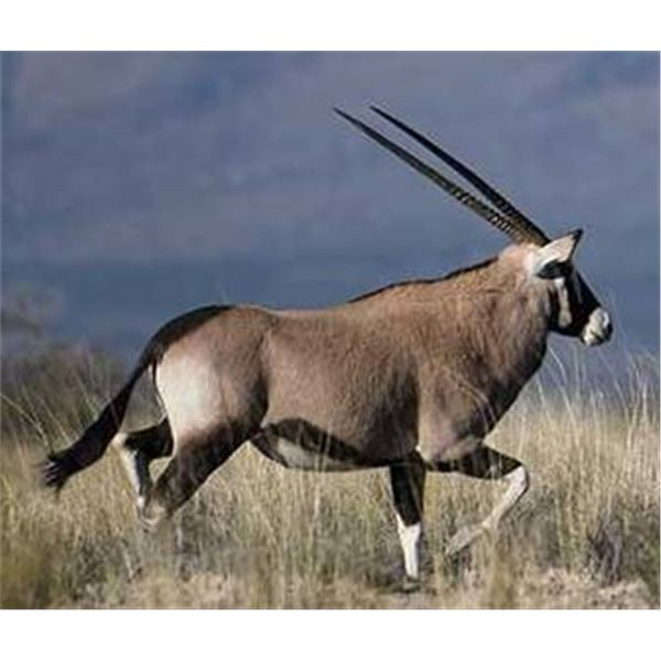 Trophy Oryx Hunt Free Range on 362,000 acre Private Ranch for a Trophy Cow Oryx in New Mexico