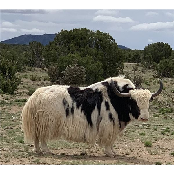 Trophy Bull Yak Hunt in New Mexico 2 Days for 1 Hunter with Rancho De Chavez