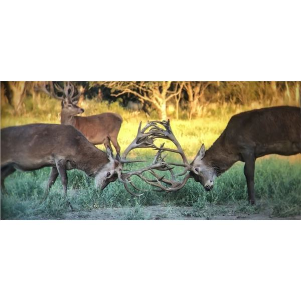 RED STAG, BLACK BUCK ANTELOPE AND DOVE HUNT IN ARGENTINA FOR TWO HUNTERS SIX DAY STAY