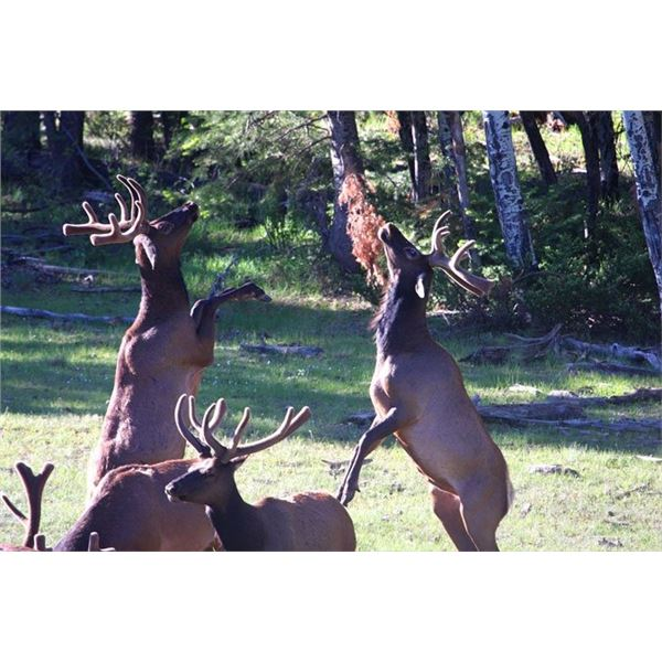 Elk Hunt in Northern New Mexico on the Quinlan Ranch, For a Management Bull Elk (Guides Choice)