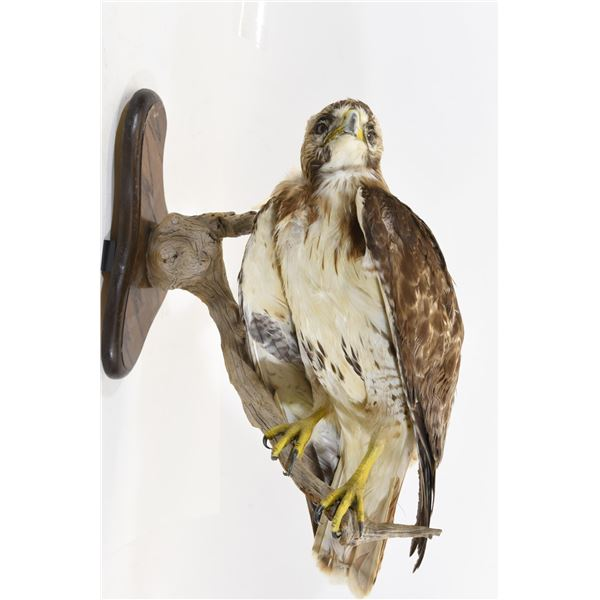Stuffed and Mounted Red Tail Hawk