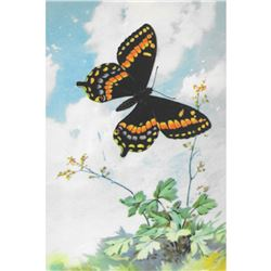 1920's Newfoundland Swallowtail Butterfly Color
