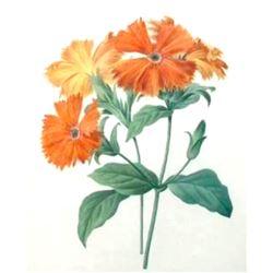 After Pierre-Jospeh Redoute, Floral Print, #75 Lychnide a grandes fleurs ( Lychnide-Silene )