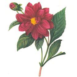 After Pierre-Jospeh Redoute, Floral Print, #30 Dalhia double ( Double Dahlia)