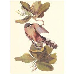 c1950 Audubon Print, Mangrove Cuckoo