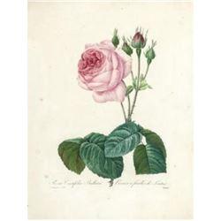 After Pierre-Jospeh Redoute, Floral Print, #120 Rosa Centifolia Bullata ( Rose )