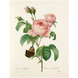 After Pierre-Jospeh Redoute, Floral Print, #117 Rosa Centifolia ( Pale Rose )