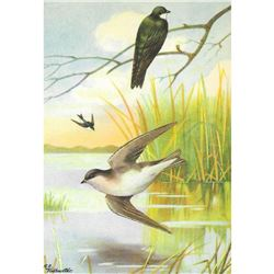 1920's Tree Swallow Color Lithograph Print