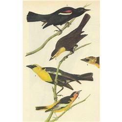 c1946 Audubon Print, #388 Three Icterids