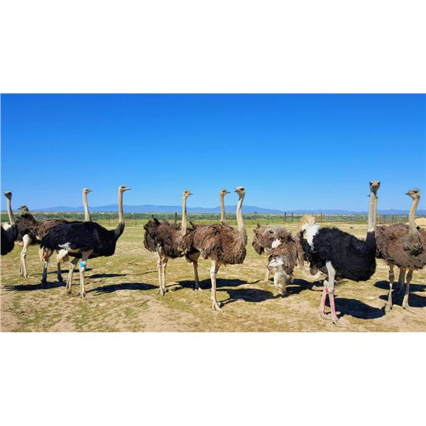 American Ostrich Farms Ranch Tour + $100 GC