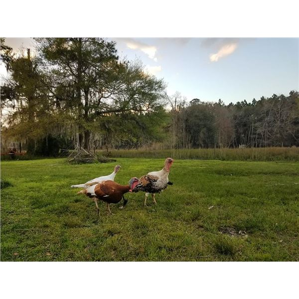 Florida spring turkey hunt plus option with Charles Alvarez of Alvarez Farms