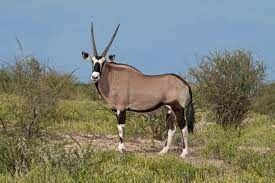 7 Day Hunt for 3 in South Africa for Springbucks, Gemsbok, and Brown Blesbuck