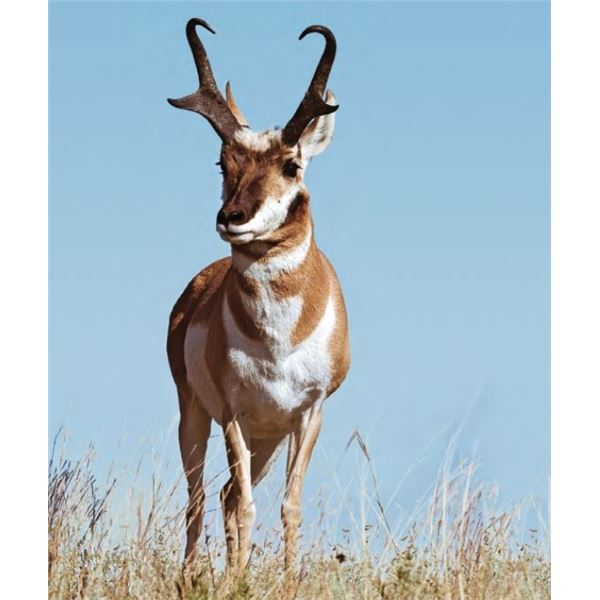 New Mexico Antelope Hunt for 2 hunters Vouchers included