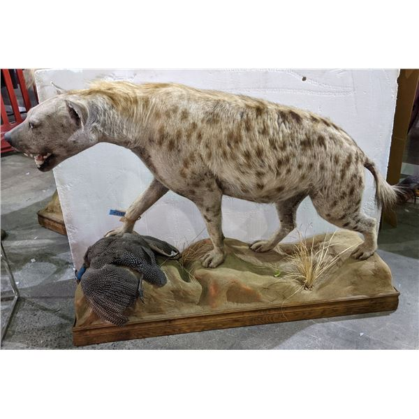 Full size hyena mount approx 5ft length x 3.5ft height