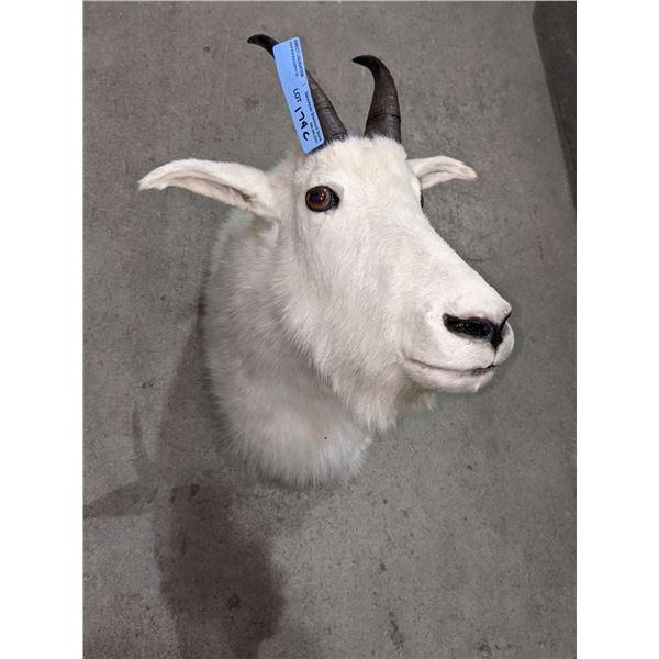 "Mountain goat shoulder mount - 18"" H x 20"" Depth"