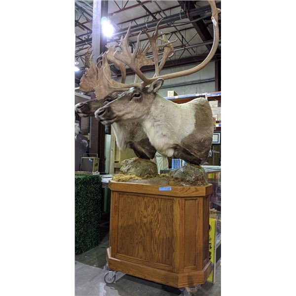 """2 Caribou shoulder mounts on a stand approx. 85""""Height x 50"""" width (Grade A) - Cost $6000 just to mo"""