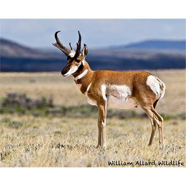 Utah Buck Pronghorn - Book Cliffs - Conservation Permit