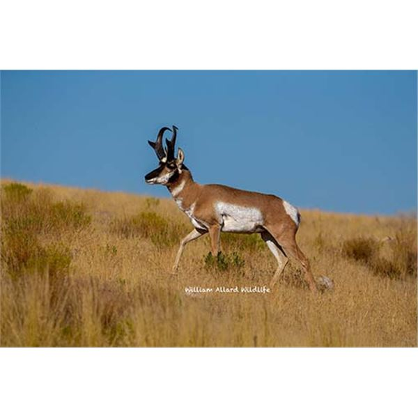 Utah Buck Pronghorn - Pine Valley - Conservation Permit