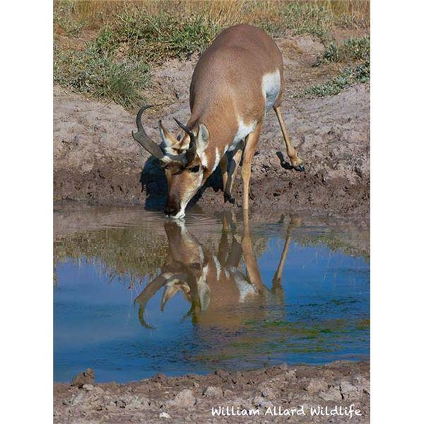 Utah Buck Pronghorn - Southwest Desert - Conservation Permit