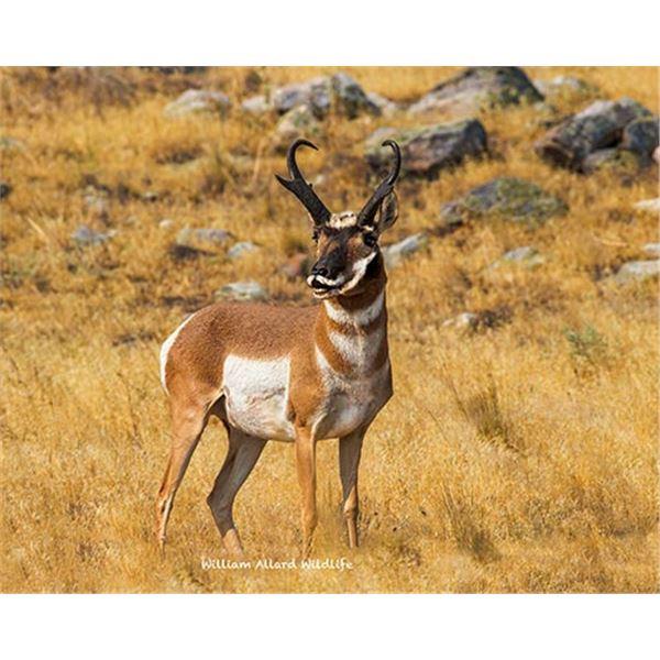 Utah Buck Pronghorn - West Desert, Riverbed - Conservation Permit