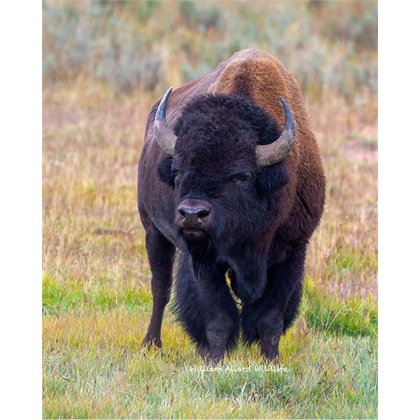 Utah Bison - Henry Mountains (Hunter's Choice) - Conservation Permit