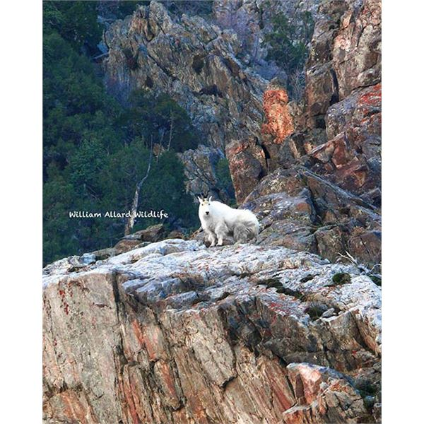 Utah Mountain Goat - Central Mountains, Nebo (Hunter's Choice) - Conservation Permit
