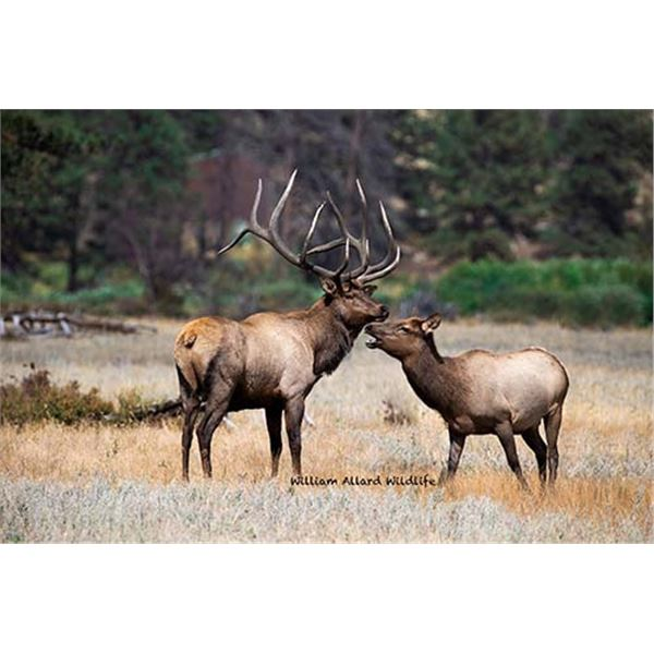 Utah Bull Elk - Wasatch Mountains - Muzzleloader - Conservation Permit