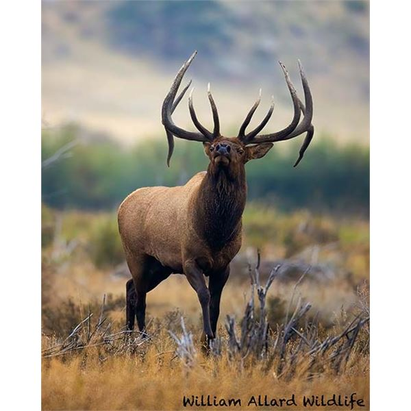 Utah Bull Elk - Central Mtns, Manti - Hunter's Season Choice of Season - Conservation Permit