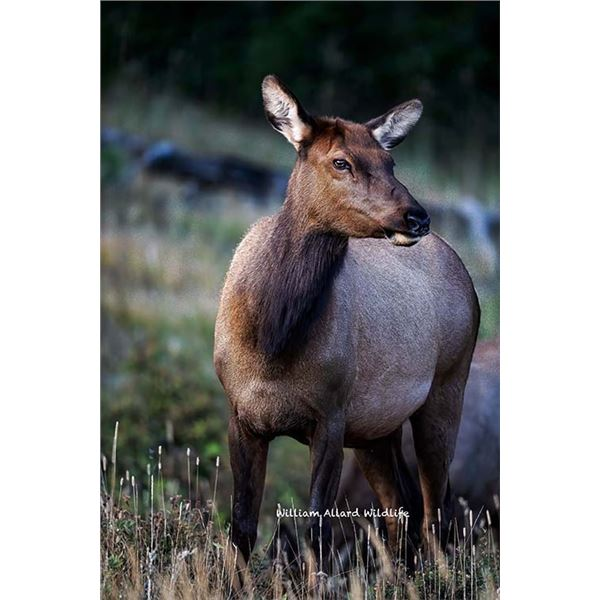 Utah Cow Elk - All Cache Units - Conservation Permit