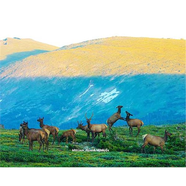 Utah Cow Elk - All Cache Units - Conservation Permit