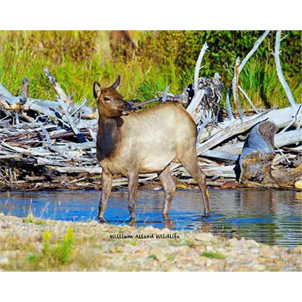 Utah Cow Elk - All Central Mountains Units - Conservation Permit